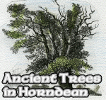 Ancient Trees in Horndean
